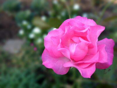「背景ぼかしアプリ」で撮影した戸山公園のバラ