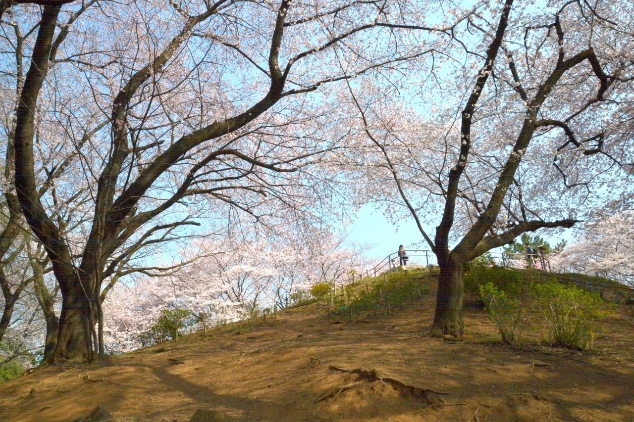 新宿区戸山公園内箱根山の桜_1