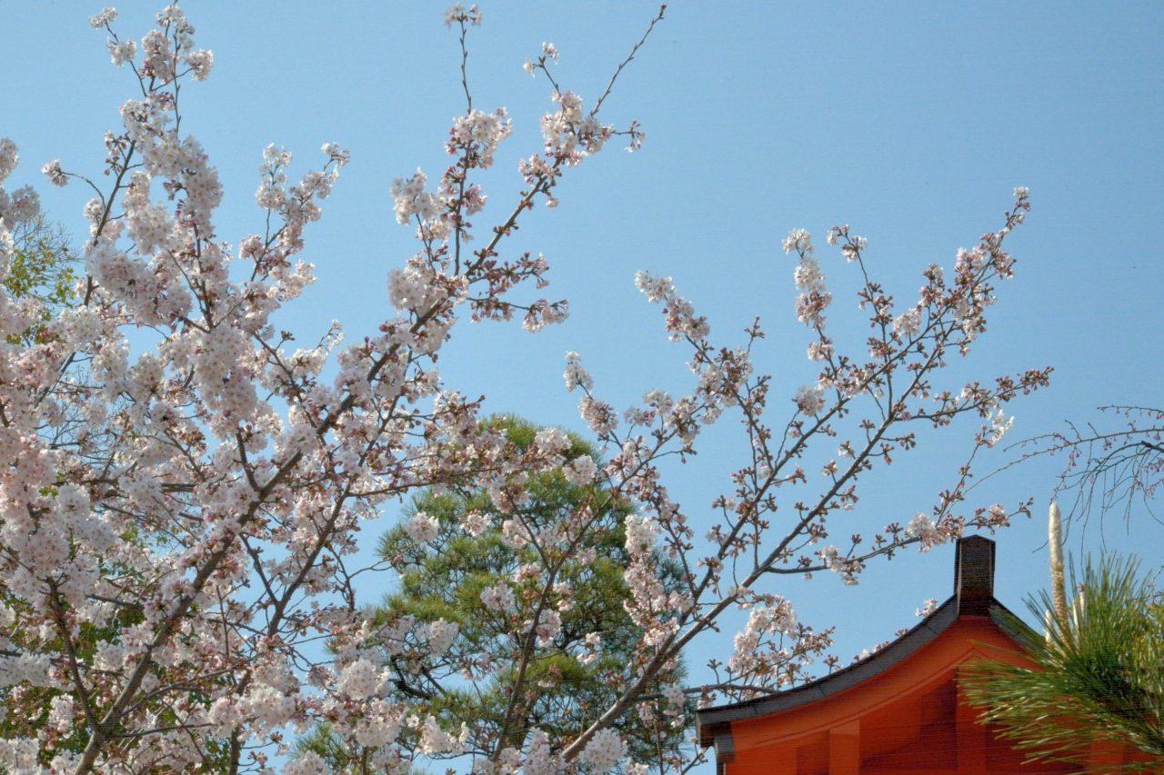 一陽来福〜放生寺(穴八幡の別当寺)の桜-2