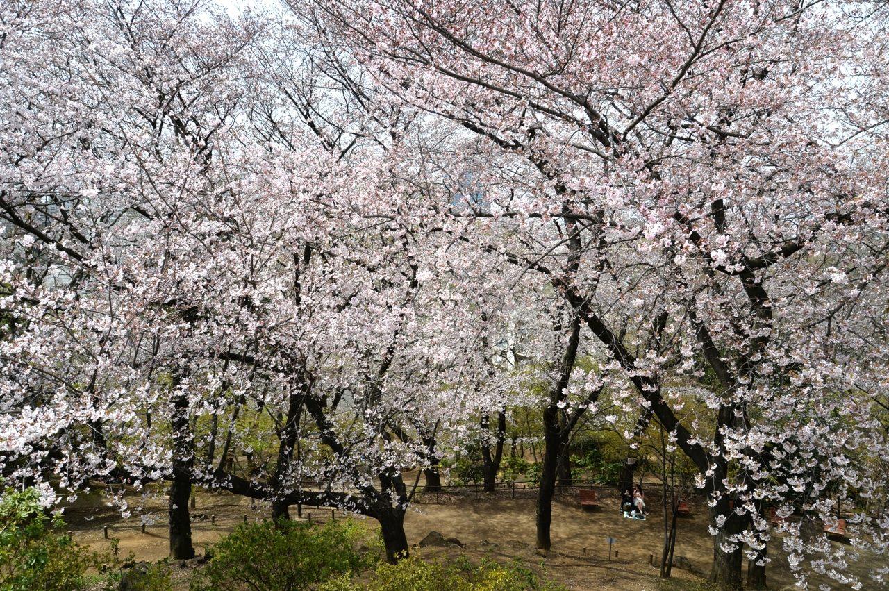 新宿区戸山公園内箱根山の桜_4