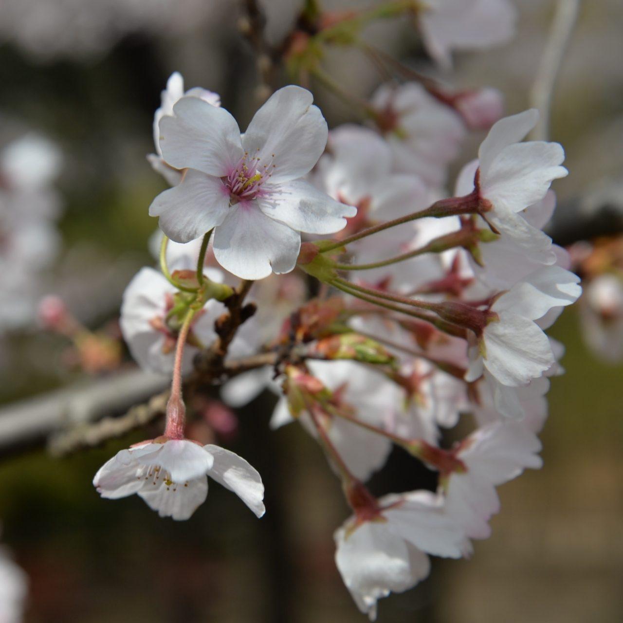新宿区戸山公園内箱根山の桜_6