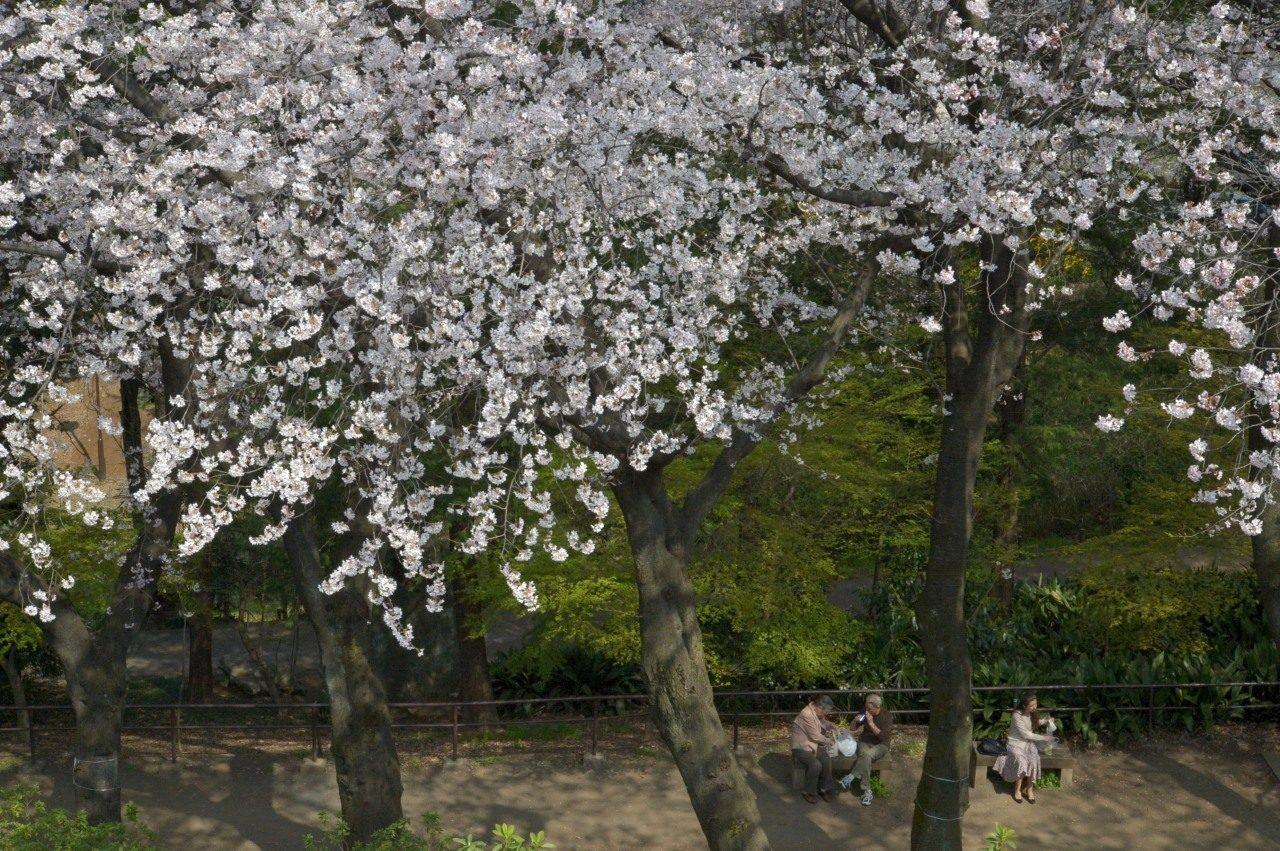 新宿区戸山公園内箱根山の桜_3