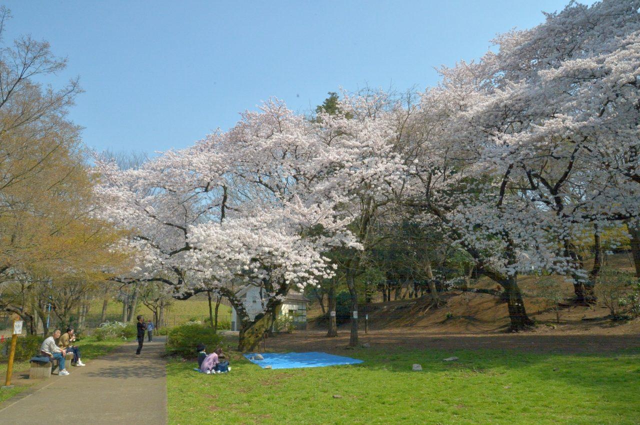 新宿区戸山公園内箱根山の桜_7