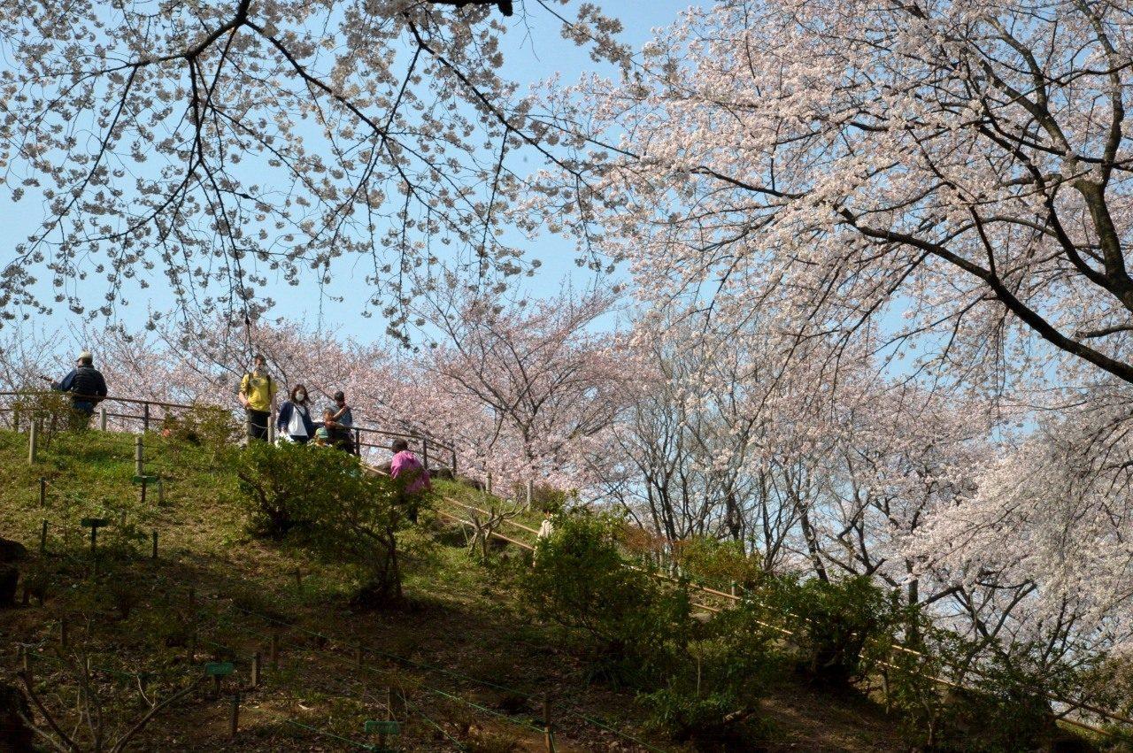 新宿区戸山公園内箱根山の桜_2