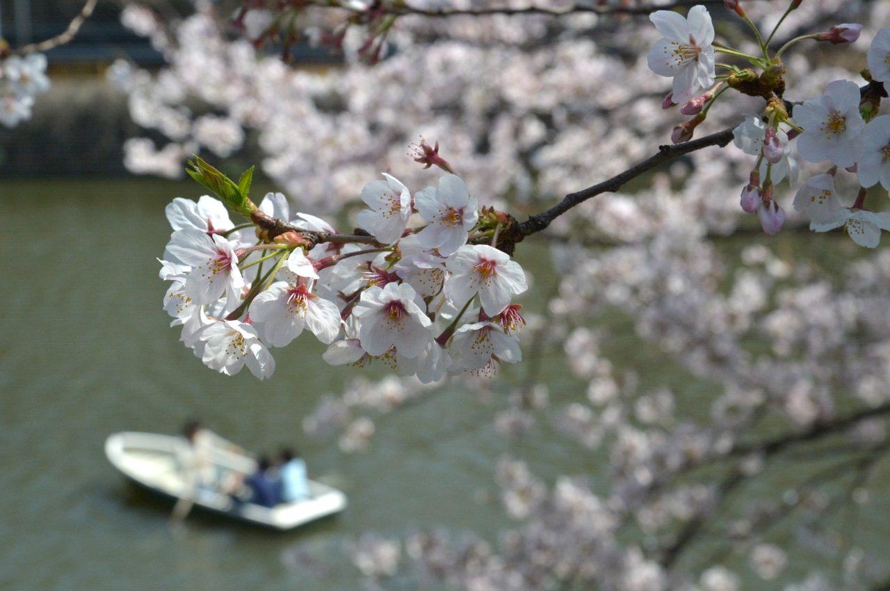 千鳥ヶ淵の桜_5