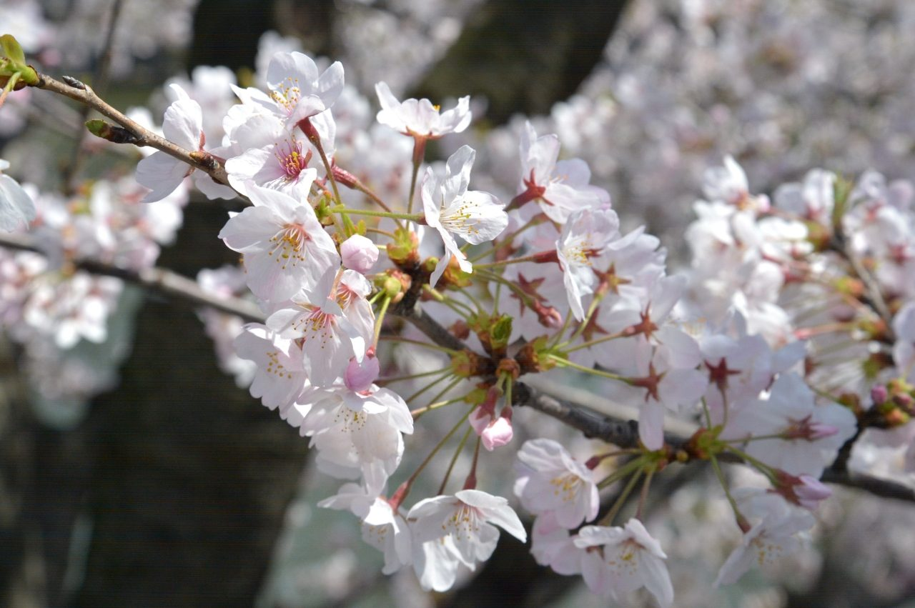 千鳥ヶ淵の桜_4