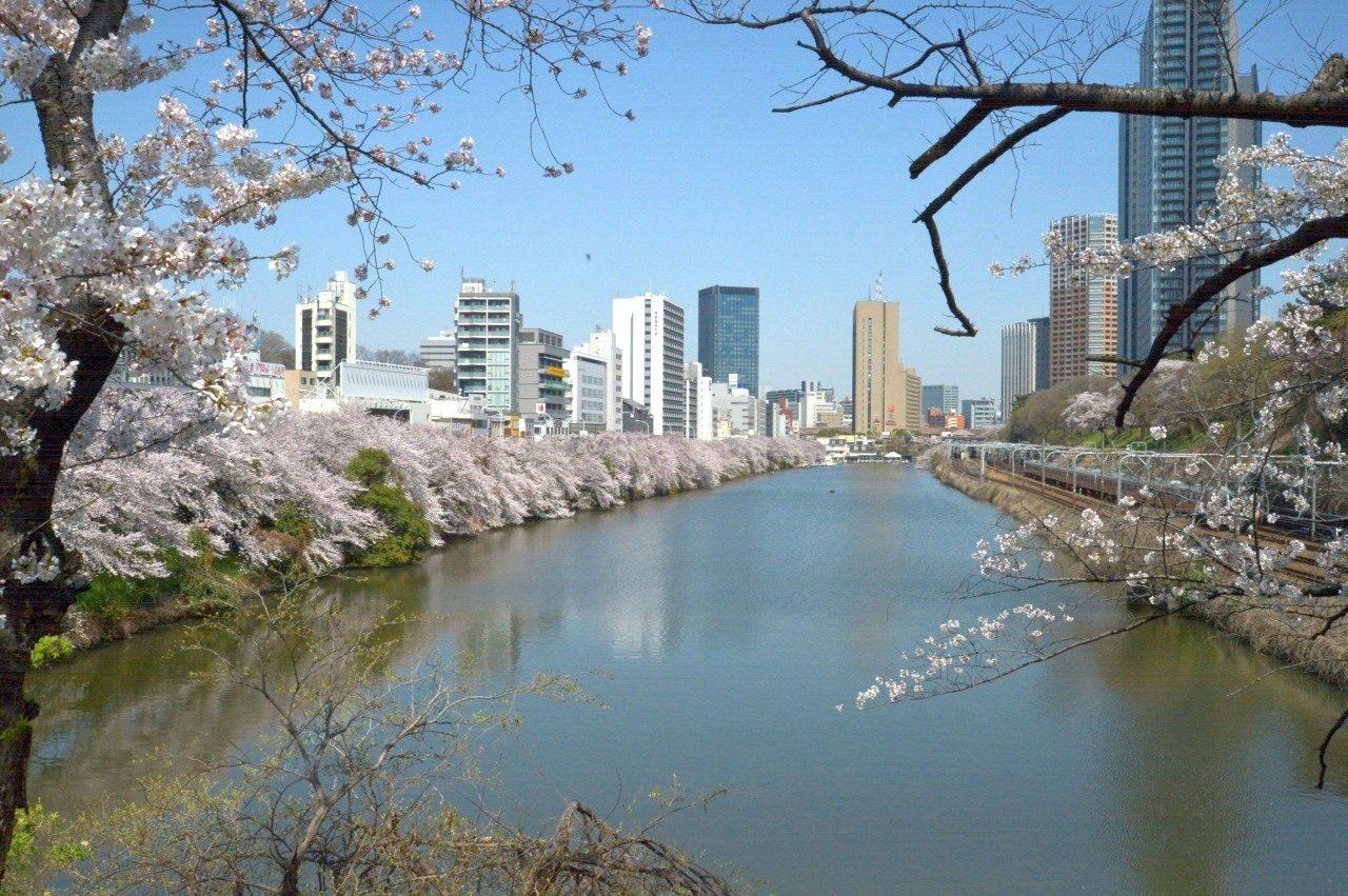千鳥ヶ淵の桜_2