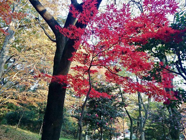 戸山公園の紅葉-3