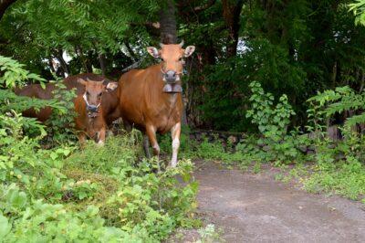 ロビーナビーチの牛ファミリー-i