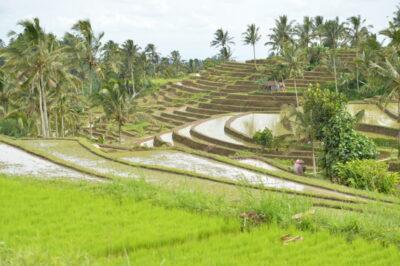 ジャティルイ棚田(Jatiluwih Rice Terrace)-i