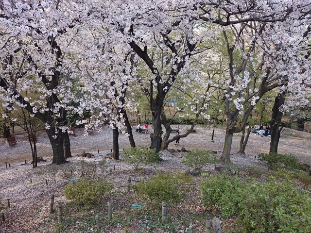 戸山公園箱根山の桜の絨毯-2
