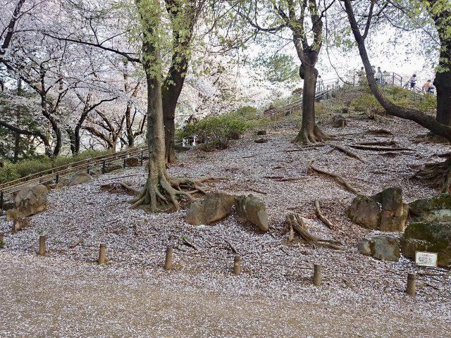 戸山公園箱根山の桜の絨毯-1