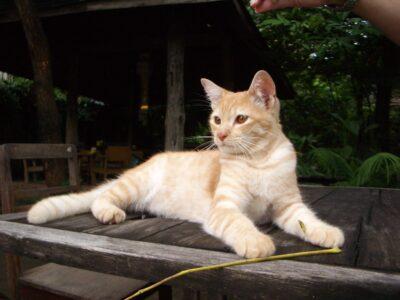 チェンマイのネコ