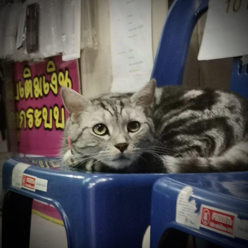 スマホショップの看板猫-3