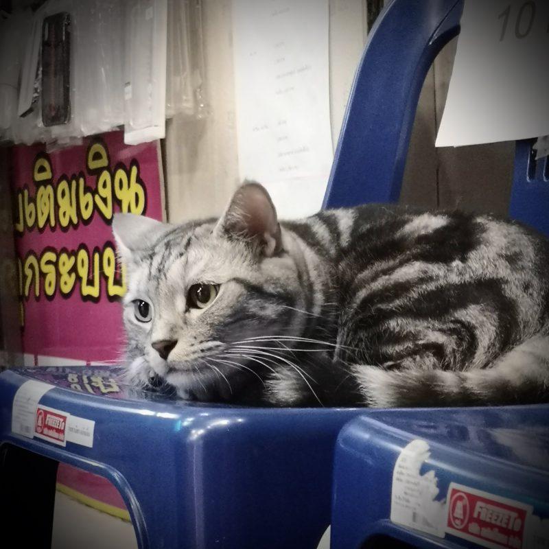 スマホショップの看板猫-4