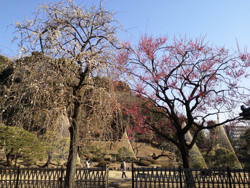 肥後細川庭園松聲閣から眺める紅梅白梅