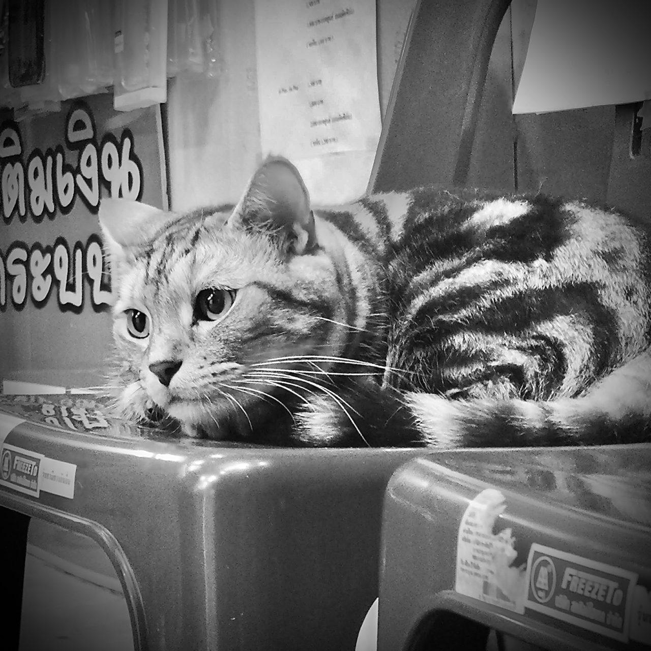 猫のモノクロ写真