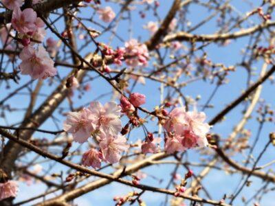 椿山荘の河津桜