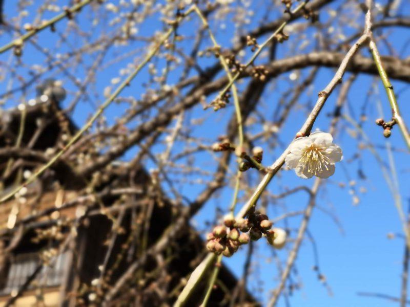 肥後細川庭園松聲閣前の白梅