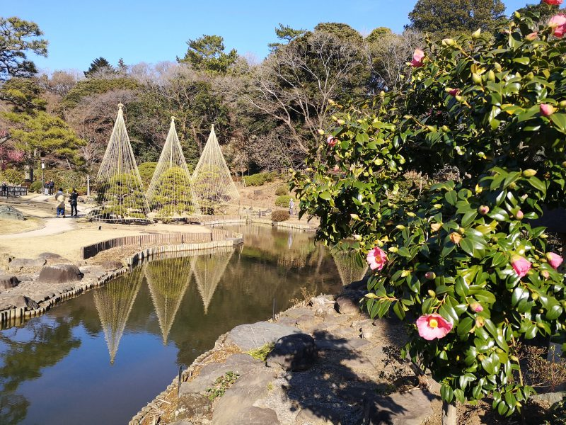 肥後細川庭園の椿