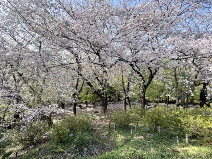 戸山公園箱根山からの桜
