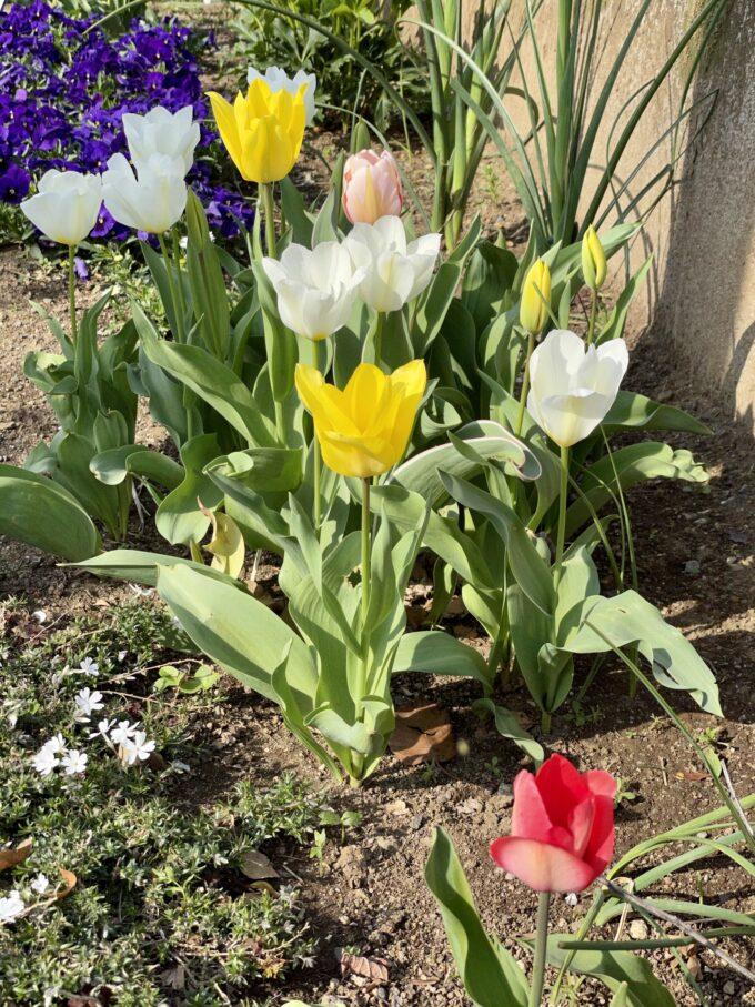 戸山公園の花壇に咲くチューリップ