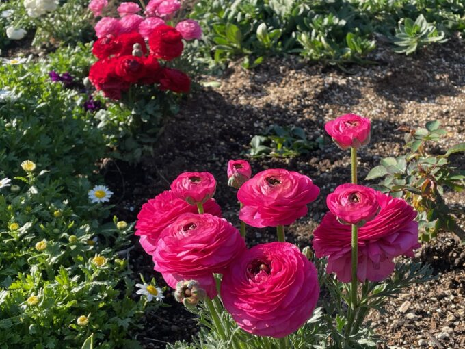 戸山公園の花壇に咲くラナンキュラス