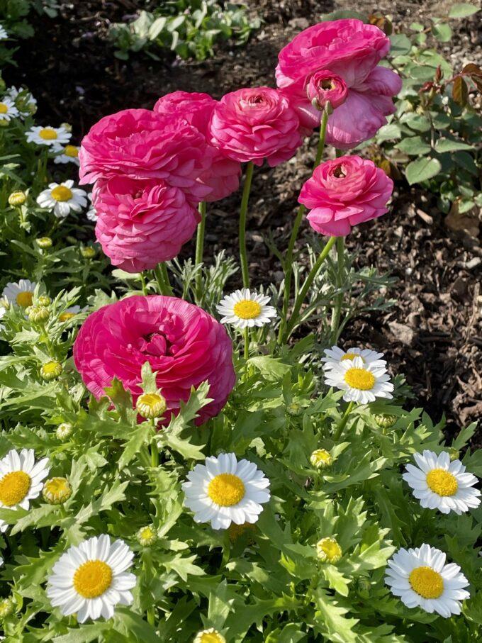 戸山公園の花壇に咲くラナンキュラスとスノーポール