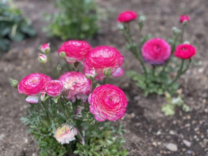 戸山公園2021年春の花壇-ラナンキュラス(ピンク1)