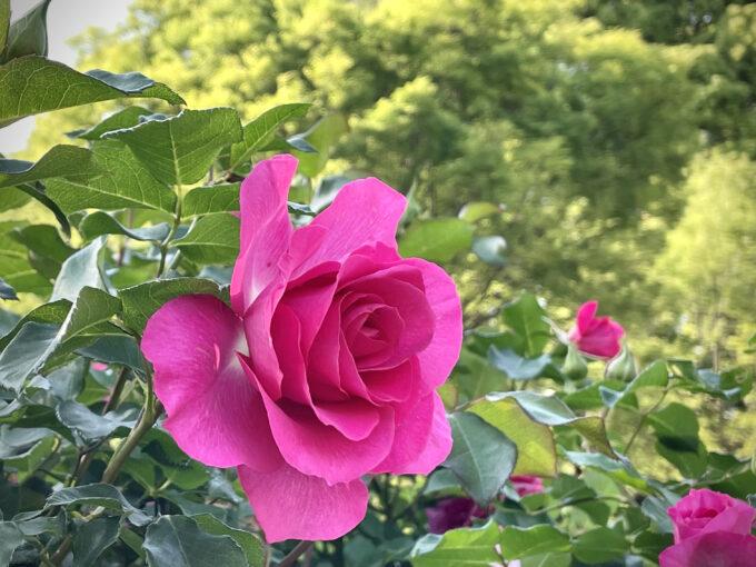 戸山公園2021年春の花壇-バラ
