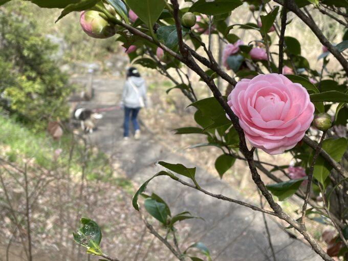 戸山公園春の訪れ2021-乙女椿