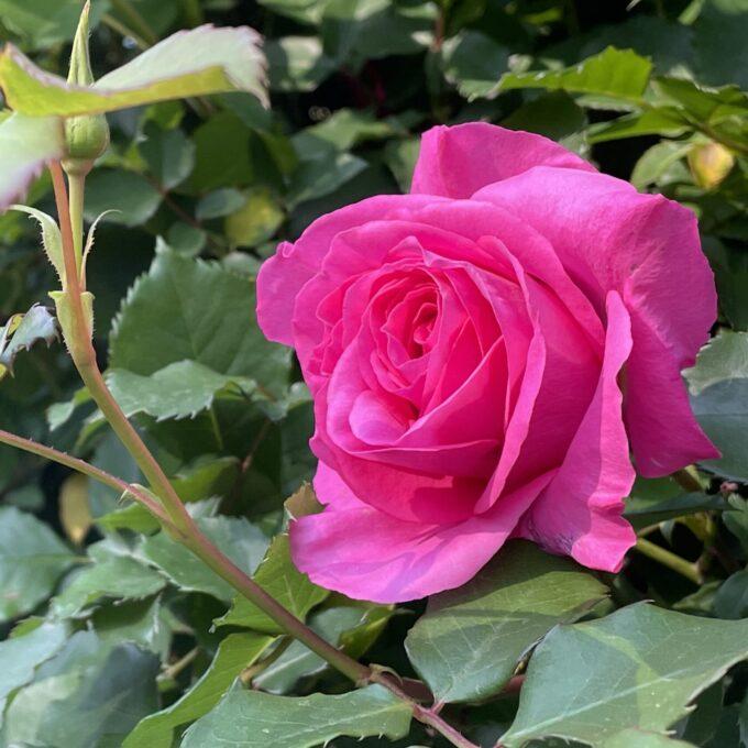 戸山公園2021年春の花壇-大輪のバラ