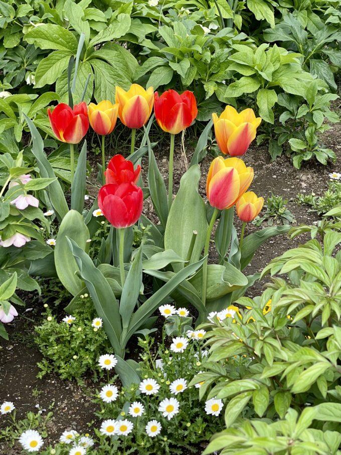 戸山公園2021年春の花壇-チューリップ(赤黄)