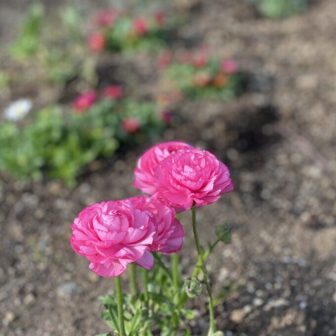 戸山公園2021年春の花壇-ラナンキュラス(ピンク3)