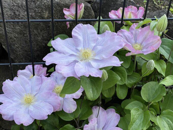 戸山公園2021年春の花壇-クレマチス(白紫)