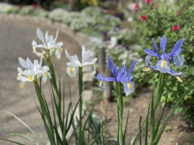 戸山公園2021年春の花壇-スパニッシュアイリス