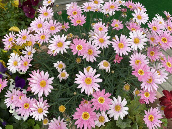 戸山公園周辺の花々(マーガレット)2021