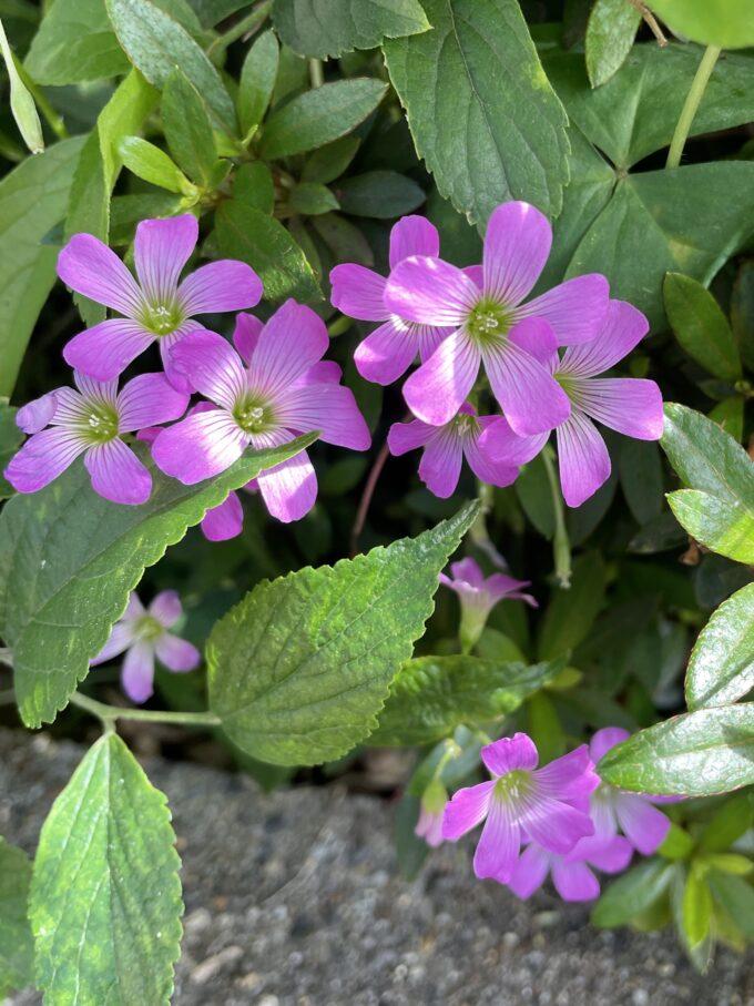 戸山公園周辺の花々(紫カタバミ)2021