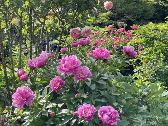 戸山公園の芍薬2021