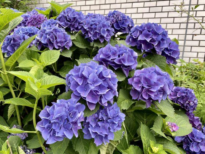 戸山公園周辺の花々(紫陽花)2021