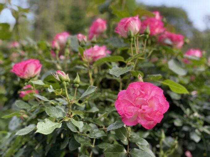 戸山公園の薔薇2021