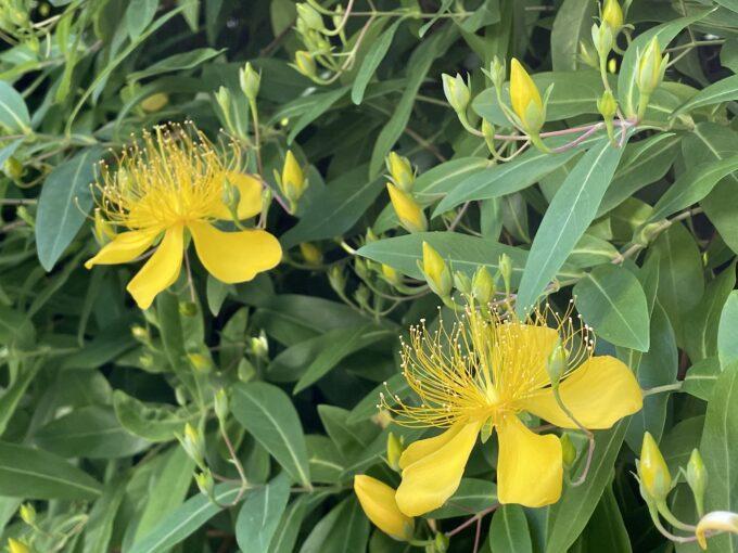 戸山公園周辺の花々(ビヨウヤナギ)2021