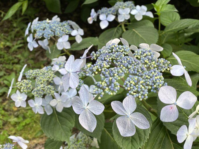 戸山公園の紫陽花2021