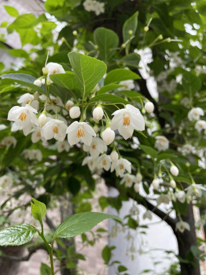 戸山公園周辺の花々(エゴノキ)2021