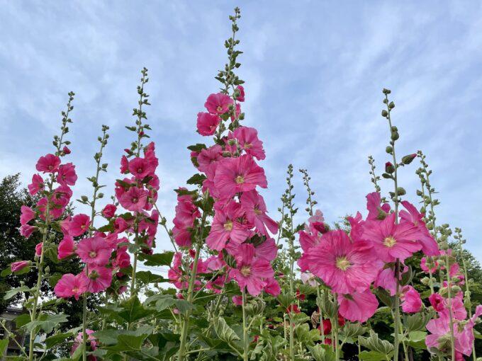 戸山公園周辺の花々(タチアオイ)2021
